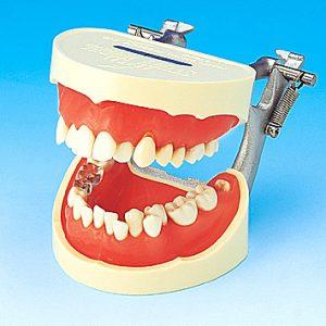 歯磨き指導用顎模型 PE-STP001の写真