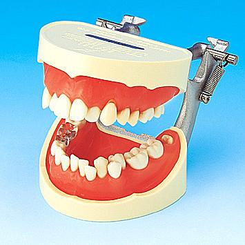 歯磨き指導用顎模型[PE-STP001]の写真